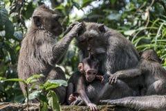 Affe Forest Family Balis Indonesien Ubud Lizenzfreies Stockfoto