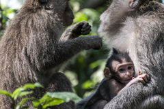 Affe Forest Family Balis Indonesien Ubud Stockbilder