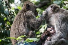 Affe Forest Family Balis Indonesien Ubud Lizenzfreie Stockbilder