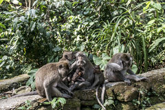 Affe Forest Family Balis Indonesien Ubud Stockfoto