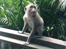 Affe Forest Sanctuary Padangtegal Mandala Wisata Wanara Wana Sacred in Ubud, Bali, Indonesien Lizenzfreies Stockfoto