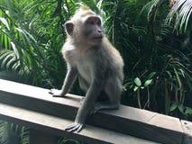 Affe Forest Sanctuary Padangtegal Mandala Wisata Wanara Wana Sacred in Ubud, Bali, Indonesien Stockbild