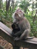 Affe Forest Sanctuary Padangtegal Mandala Wisata Wanara Wana Sacred in Ubud, Bali, Indonesien Lizenzfreie Stockfotos