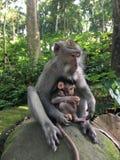 Affe Forest Sanctuary Padangtegal Mandala Wisata Wanara Wana Sacred in Ubud, Bali, Indonesien Stockfotografie