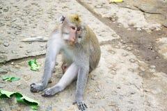 Affe Forest Ubud Bali Indonesia Lizenzfreies Stockbild