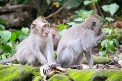 Affe Forest Ubud Bali Indonesia Lizenzfreie Stockfotos