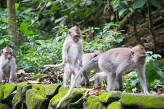 Affe Forest Ubud Bali Indonesia Stockfotografie