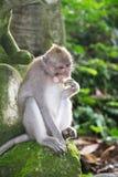 Affe Forest Ubud Bali Indonesia Lizenzfreie Stockfotografie