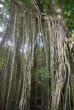 Affe Forest Ubud Bali Indonesia Stockbild