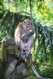 Affe Forest Ubud Bali Indonesia Stockbilder