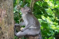 Affe Forest Ubud Bali Indonesia Lizenzfreies Stockfoto