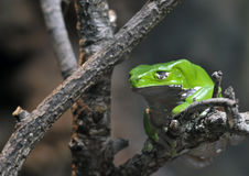 Affe-Frosch Stockfotografie