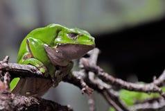 Affe-Frosch Lizenzfreie Stockfotografie