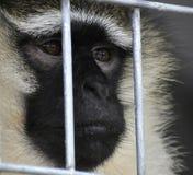 Affe gefüllt mit Traurigkeit Lizenzfreie Stockfotografie