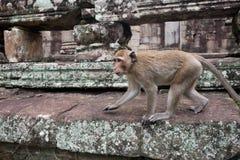 Affe geht auf den Stein Lizenzfreie Stockfotografie