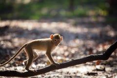 Affe geht auf eine Niederlassung in den wild lebenden Tieren Stockfotografie