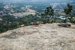 Affe geht entlang den Felsen Stockbild