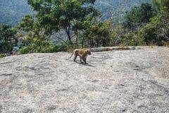 Affe geht entlang den Felsen Lizenzfreie Stockbilder