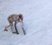 Affe geht Zoo Lizenzfreie Stockfotografie