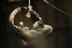 Affe gelegt auf den Reifen, der anderswo schaut Lizenzfreie Stockfotos