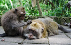 Affe genießt eine Massage - Archivbild Lizenzfreie Stockfotos