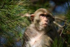 Affe gerichtet auf einen ungesehenen Gegenstand Lizenzfreies Stockbild