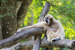 Affe-Gibbon stockbild