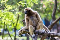 Affe-Gibbon Lizenzfreie Stockfotos