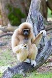 Affe-Gibbon Stockfoto