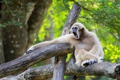 Affe-Gibbon Lizenzfreies Stockfoto