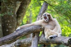 Affe-Gibbon Lizenzfreie Stockbilder