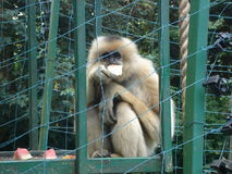 Affe - Gibbon Stockbild