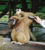 Affe Gibbon (Lat Hylobatidae) im Paradies-Park-Bauernhof, Koh Samui, Thailand Stockbild
