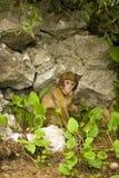 Affe in Gibraltar, das heraus Zunge stößt Stockfotografie