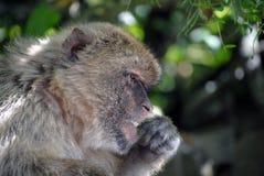 Affe in Gibraltar in der natürlichen Umwelt Stockfotografie