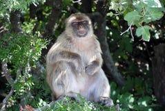 Affe in Gibraltar in der natürlichen Umwelt Lizenzfreie Stockbilder