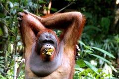 Affe-Gorilla Lizenzfreies Stockbild