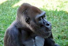 Affe - Gorilla Stockbild