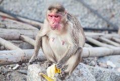 Affe in Hampi Lizenzfreie Stockfotografie