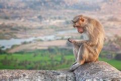 Affe in Hampi Stockbild
