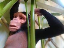 Affe hat Frage Lizenzfreie Stockfotos