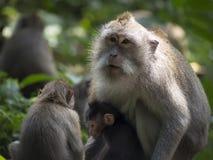Affe in heiligem Wald Ubud, Bali, Indonesien Lizenzfreie Stockfotos