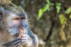 Affe am heiligen Affe-Wald, Ubud, Bali, Indonesien Lizenzfreies Stockbild