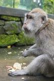 Affe am heiligen Affe-Wald, Ubud, Bali, Indonesien Lizenzfreie Stockfotografie
