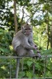 Affe am heiligen Affe-Wald, Ubud, Bali, Indonesien Stockbild