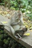 Affe in heiligen Forest Sanctuary, Bali Lizenzfreie Stockfotografie