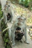 Affe in heiligen Forest Sanctuary, Bali Lizenzfreies Stockbild