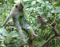 Affe in heiligen Forest Sanctuary, Bali Lizenzfreies Stockfoto