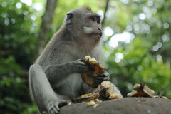 Affe in heiligen Forest Sanctuary, Bali, Indonesien Lizenzfreies Stockfoto