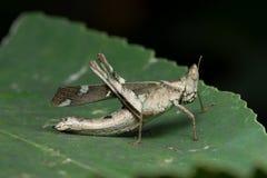 Affe-Heuschrecke in Thailand Lizenzfreies Stockbild